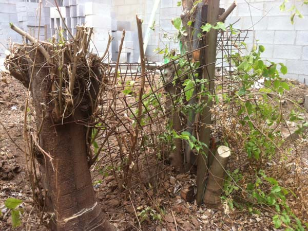 Chinese elm stump with embedded steel wire