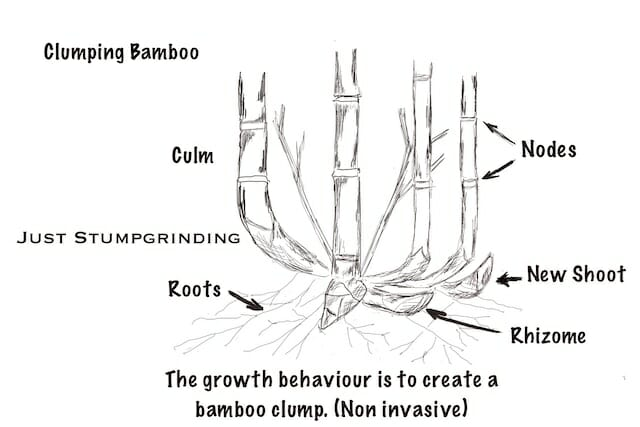 Clumping bamboo is much easier to control